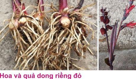 Cong dung va bai thuoc chua benh tu cay dong rieng do - Anh 5