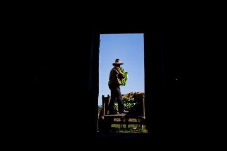 Ben trong trang trai san xuat xi ga noi tieng Cuba - Anh 7