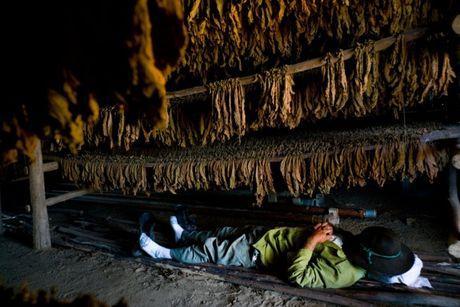 Ben trong trang trai san xuat xi ga noi tieng Cuba - Anh 8