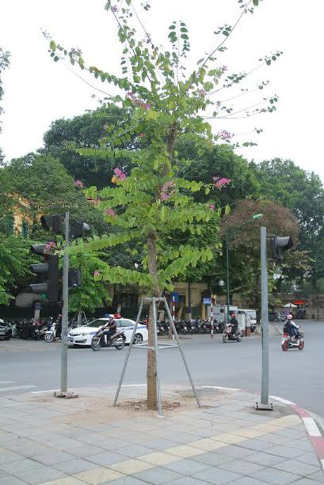 Hoa ban Tay Bac bat ngo no ruc ro giua troi Dong Ha Noi - Anh 2