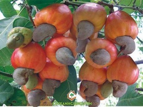 Binh Thuan: Cay trong ben vung la co so cua phat trien nong nghiep - Anh 2