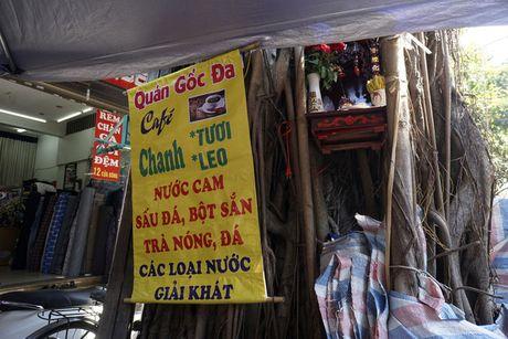 'Cung than' tren than cay co thu o Ha Noi - Anh 15