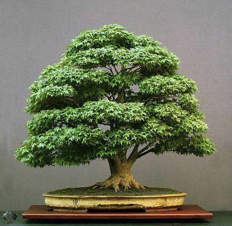 Hình ảnh cây cảnh bonsai cổ thụ đáng giá cả gia tài