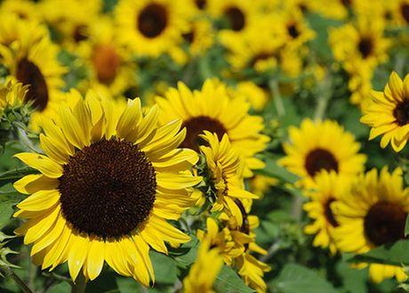 Y nghia hoa huong duong trong cuoc song ban nen biet - Anh 2