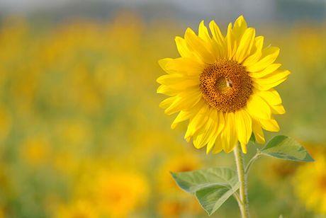 Y nghia hoa huong duong trong cuoc song ban nen biet - Anh 3