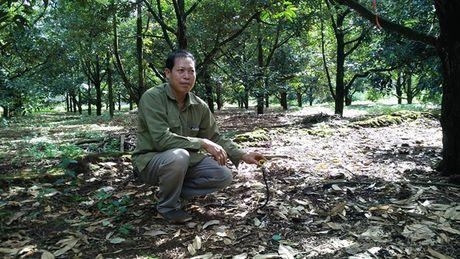 Vuon sau rieng 5 ha ben ho Thac Mo, thu 2 ty dong /nam - Anh 1