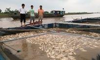Người nuôi cá lồng trên sông Hồng mất trắng do mưa lũ