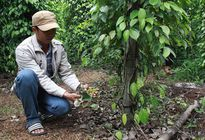 Đắk Lắk: Nông dân khốn khổ vì phân bón kém chất lượng