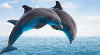 Cá heo phát triển bộ não bởi nhu cầu giao tiếp cao hơn loài khác