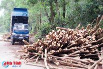 Tận thu gỗ rừng trồng sau bão - Cần 'dám chịu trách nhiệm'!