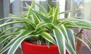 11 loại cây cảnh hút khí độc cực tốt nên trồng trong nhà