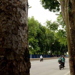 Clip: Cận cảnh hàng cây trên đường Phạm Văn Đồng trước ngày bị chặt hạ