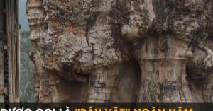 'Báu vật' ngàn năm của núi rừng: Trả 1 triệu USD vẫn không muốn bán