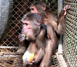 Người dân trao trả 2 con khỉ mặt đỏ cho Vườn Quốc gia Pù Mát