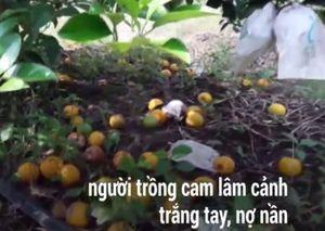 Người trồng cam tiến vua lâm cảnh nợ nần vì quả rụng đầy gốc