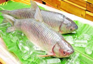 Bí quyết nuôi cá chép giòn thịt chắc thơm ngon ai cũng thích