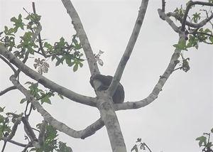 Lười bị giật khỏi cây để bán cho khách chụp ảnh selfie