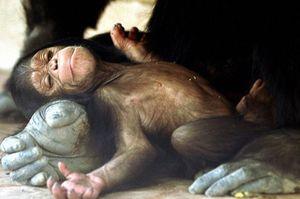 Tinh tinh đực giật con non mới sinh khỏi tay mẹ ăn ngấu nghiến