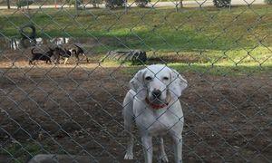 Chú chó được nhận nuôi 11 lần, cả 11 lần trốn... và lý do cảm động