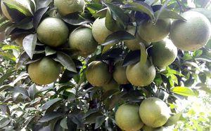Những vườn cam Vinh sau lũ cho thu nhập tiền tỷ