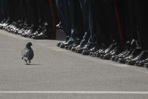 Chim bồ câu 'duyệt binh' ở Nga vào top ảnh tuần