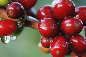 Giá nông sản hôm nay 15.5: Giá cà phê tuần qua biến động giảm