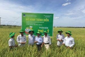 Phân bón Phú Mỹ cho cây lúa tại Quảng Trị tăng năng suất thêm 10%