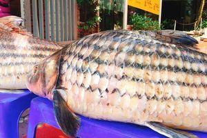 Cặp cá trà sóc 'khủng' được vận chuyển từ Campuchia về Hà Nội bằng đường hàng không