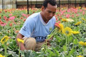 Chăm hoa bán Tết: Trồng vườn hoa đồng tiền có liền 15 triệu/tháng