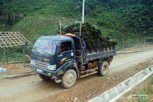 Giá lá dong Tết đang cao bất thường, người dân kiếm tiền triệu mỗi ngày