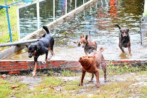 Năm Tuất 'khám phá' chó Phú Quốc