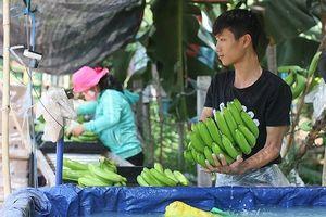 Nỗi lo chặt tiêu trồng chuối khi thấy được mùa được giá