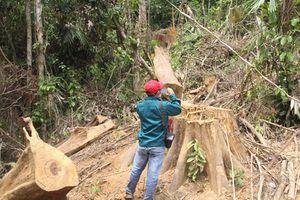 Quảng Nam: Rừng phòng hộ Sông Kôn bị 'xẻ thịt'