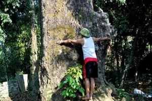 Chuyện đời của 'cụ cây' từng trải qua 10 đời người ở Mường Quàng