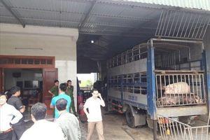 Bắt quả tang 2 xe tải chở hàng chục con lợn chưa qua kiểm dịch