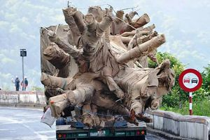 Kiểm lâm Thừa Thiên-Huế đang canh giữ 3 cây gỗ khủng 'vô chủ'