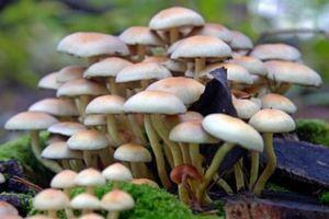 Ngộ độc nấm tại Hà Giang làm 3 người chết, 1 người nguy kịch