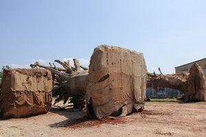 Bí ẩn nhóm người lạ đến nhận là chủ 3 cây cổ thụ 'khủng'