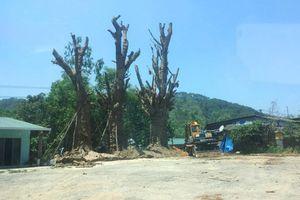 Vì sao 3 cây 'quái thú' được trồng bất đắc dĩ bên vệ đường?