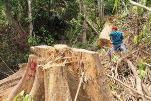 Phát hiện thêm vụ 'xẻ thịt' rừng phòng hộ Sông Kôn