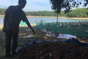 Rơi nước mắt nhìn đàn vịt gần 1.500 con đến ngày xuất chuồng bị đầu độc