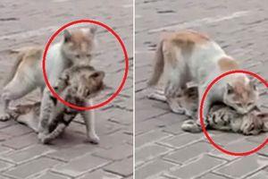 Clip mèo hoang đau đớn tha xác bạn khiến triệu người bật khóc