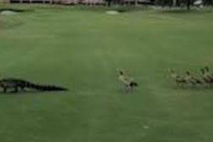 Siêu hài hước đàn vịt đuổi cá sấu chạy khắp sân golf