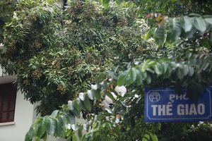 Phố phường Hà Nội bất ngờ xuất hiện nhiều cây nhãn sai trĩu quả