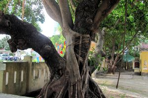 Cứu cây mù u 400 năm tuổi ở đình Phước Trường