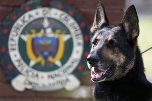 Nóng nhất hôm nay: Trùm ma túy Colombia treo thưởng 7.000 USD truy giết chó nghiệp vụ
