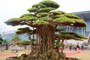 Mãn nhãn cây sanh 6 tay giá tiền tỷ của đại gia Hà Nội