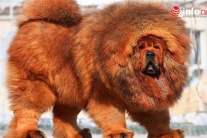 Tại sao ngao Tây Tạng là một trong những giống chó trung thành bậc nhất lại hay cắn chủ?