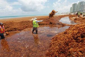 Hàng chục nghìn tấn tảo đuôi ngựa 'nuốt chửng' các bãi biển của Mexico