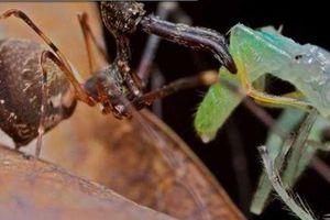 Rùng mình loài nhện có mỏ 'khủng bố', chuyên ám sát đồng loại